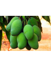 FRESH RAW GREEN MANGO 200G