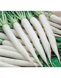 FRESH WHITE MOOLI RADISH